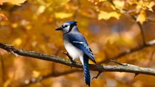 Autumn-Bluejay