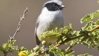 Black-eared Bushtit in Oaxaca, Mexico, by Chris and Debbie Llewellyn, BirdsWeSee.com.