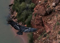 California_Condor_Flight3