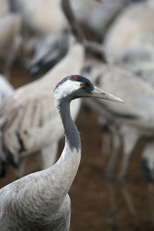 Common Crane at the Hula Nature Preserve, Israel, by Eyal Kaplan.