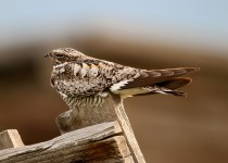 Common-Nighthawk-Everson-Ranch-7-2-15-1-200PI