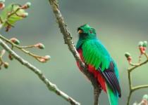 Crested_Quetzal_vert