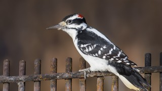 Hairy Woodpecker, Pike Lake Provincial Park, Saskatchewan