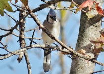 Fort-Smallwood-Park-Pasadena-MD-bluejay-9