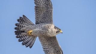 Peregrine Falcon ©2015 Joe Gliozzo