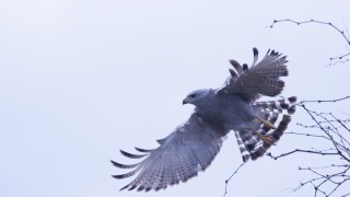 GrayHawk1015c
