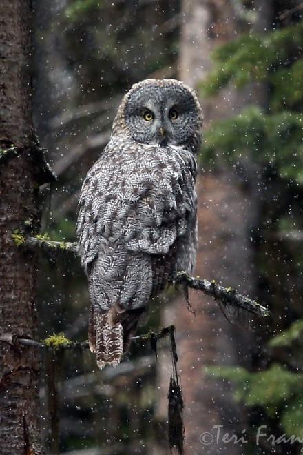Great Gray Owl_440x660