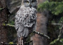 Great_Gray_Owl_1