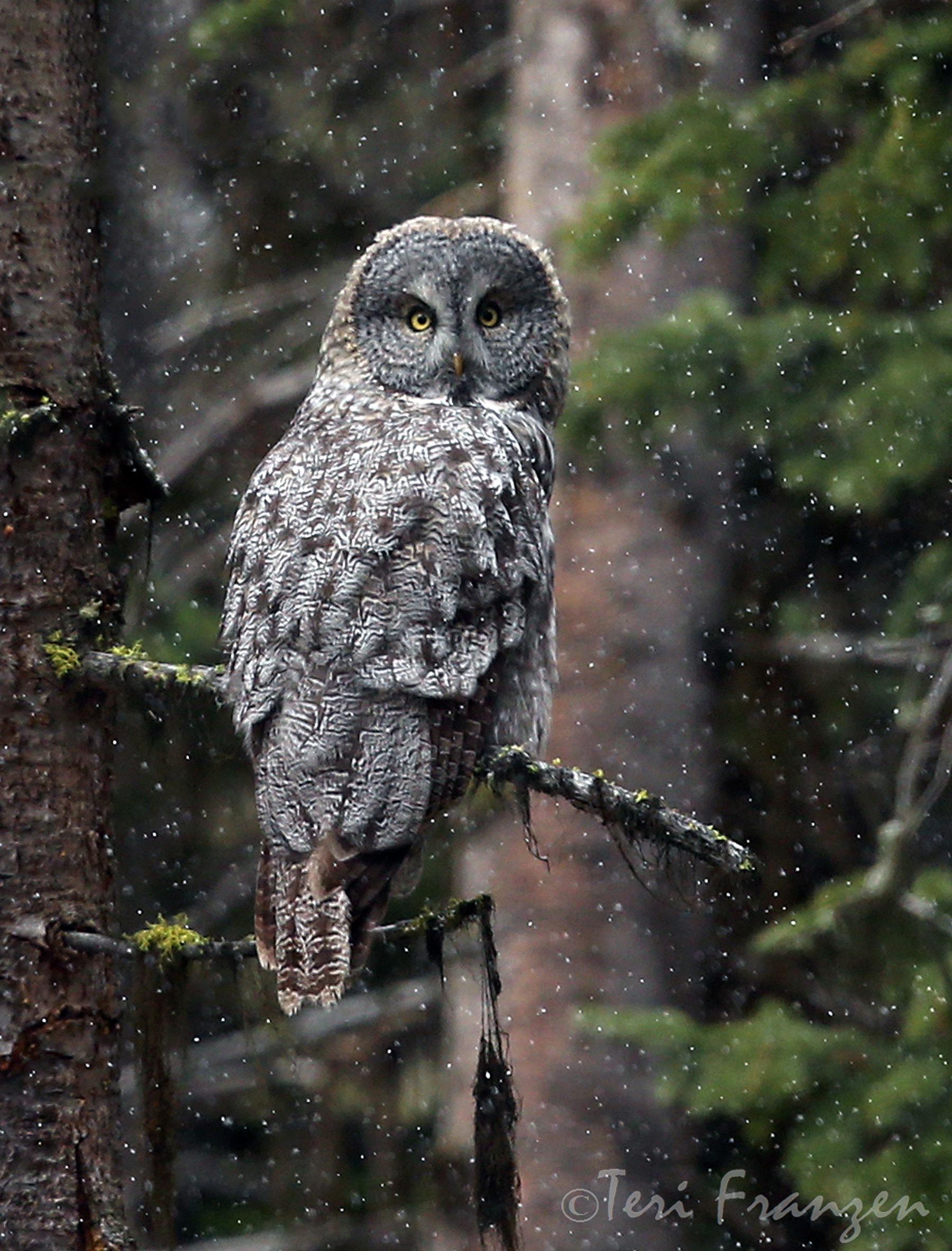 Great Gray Owl - BirdWatching