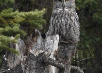 Great_Gray_Owl_2
