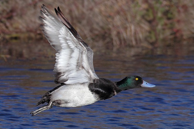 Greater-Scaup_660x440