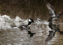 IMG_2905_Tr_Man_Hooded-Mergansers-at-Reifel