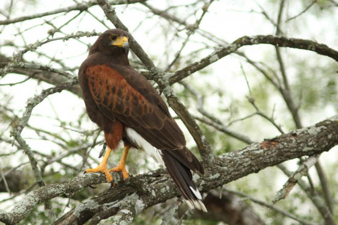 Harris's Hawk stands on long legs while perched on a tree branch.