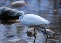 Imm-LB-Heron-4-Boise-River-Nov-2015
