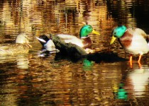 Mallard-ducks-in-a-pond-off-the-Magothy-river-inAnne-Arundel-CtyMaryland-2