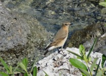 Northern-Wheatear-10-31-15-at-Lower-Matecumbe-Key-Monroe-County-FL-4