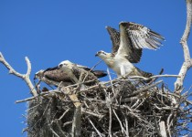 Osprey-Mom-and-2-pre-fledge-chicks-04-11-15-At-Flamingo-Everglades