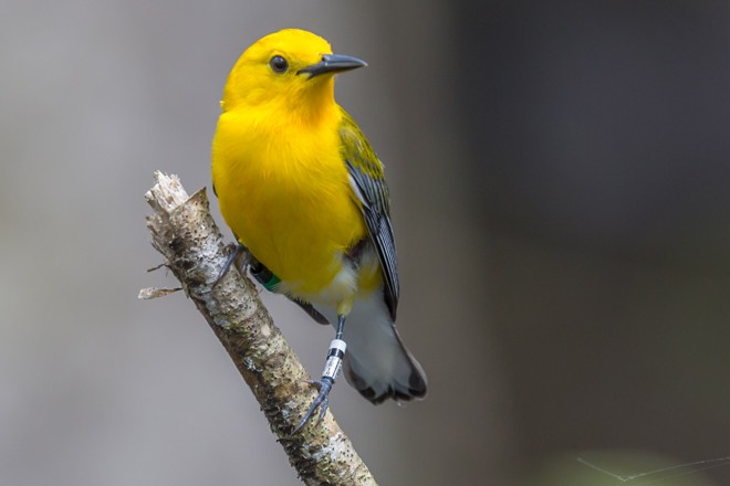 This male Prothonotary Warbler, nicknamed Long Shot, flew from South Carolina to Colombia and back. Photo by Joan Eckhardt