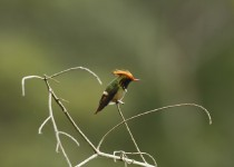 Rufous-crested-Coquette