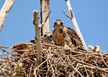 Swainsons-Hawk-JUVENILES-Rd-65-Loop-7-3-15-1-200PI