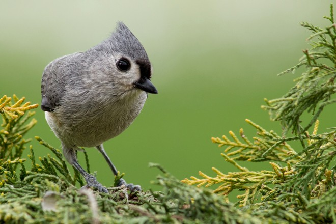 Tufted Titmouse is one of several North American species that has been hard hit by West Nile virus. Photo by Lea Foster