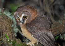 Unspotted-saw-whet-owl-vert