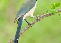 White-throated-Magpie-Jay-vert-guan