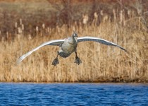 cygnet_locking_wings-0350