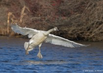 cygnet_locking_wings-0361
