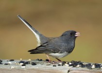 dark-eyed-junco-backyard-9