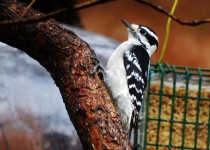 downy-woodpecker-female-backyard-4