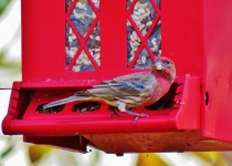 house-finch-backyard