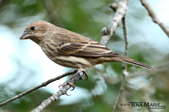 A female House Finch, often confused with Purple Finch.