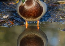 mallard_drake_reflection-0240