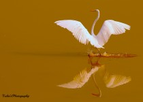 re-The-Great-Egret-by-Tahir
