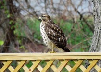 red-shouldered-hawk-backyard-22
