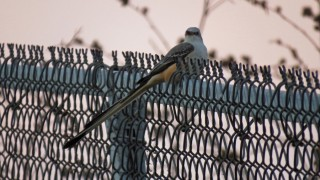 scissor-tailed flycatcher 11-1-15