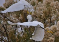 2-snowy-egrets-close