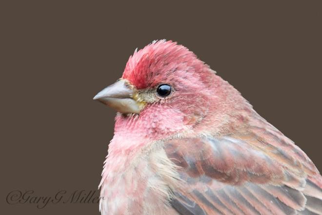 A male Purple Finch.