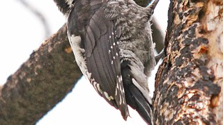 American-3-Toed-Woodpecker-Elden-Burn-8-11-12-2-200PI