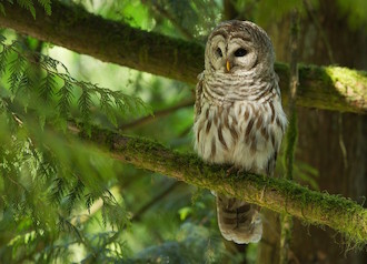 Barred Owl near Nanaimo, British Columbia, by Steve Large.