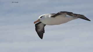 Black-browed-Albatross-03