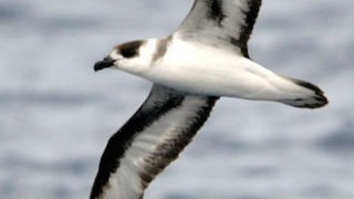 Black-capped Petrel_330x495
