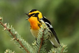 Blackburnian Warbler near Tamarack, Minnesota. Photo by gman79