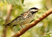 Blackpole-Warbler-Convention-Center-5-3-12-3-200PI