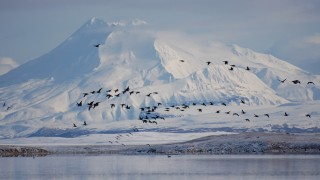 Pacific Black Brant at Izembek National Wildlife Refuge, Alaska. Photo by Kristine Sowl/U.S. Fish and Wildlife Service