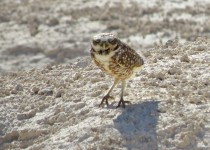 Burrowing-Owl-Floyd-Lamb-5-16-15-15-200PI