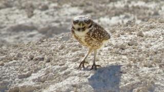 Burrowing-Owl-Floyd-Lamb-5-16-15-15-200PI