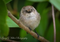 Common-Bushtit