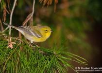 DSC0050-Pine-Warbler